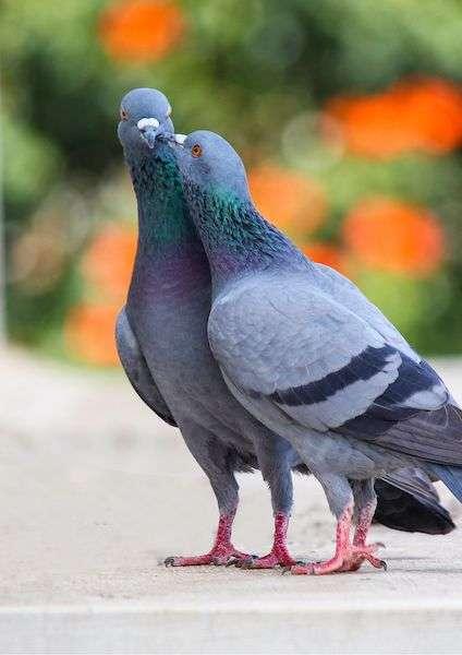 Due piccioni viaggiatore che si baciano