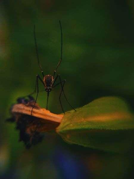 zanzara sulla foglia